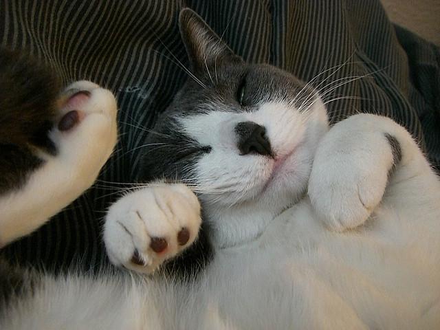 Sleeping Cat cat pictures