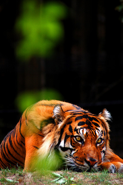 Innocent tiger pictures