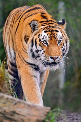 Stylish tiger pictures