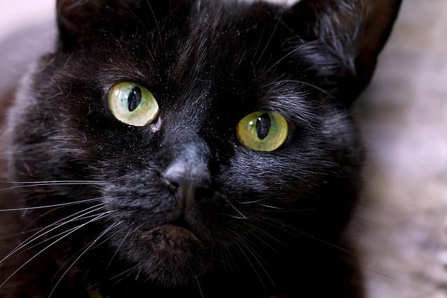 Black cat cat pictures