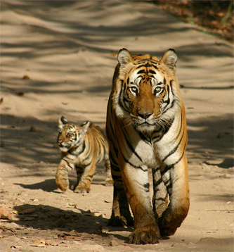 Cute tiger pictures