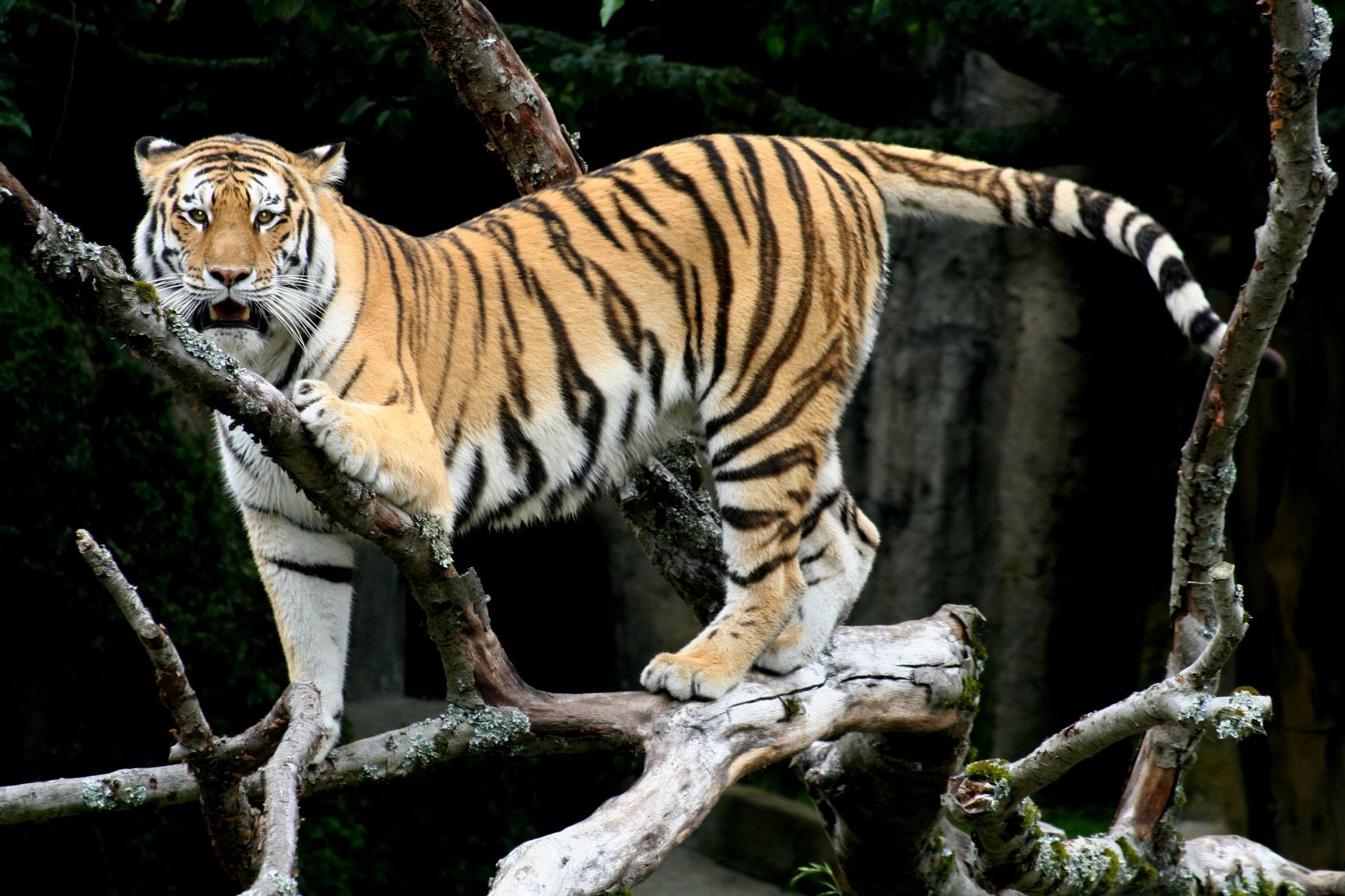 Deep Eyes tigers