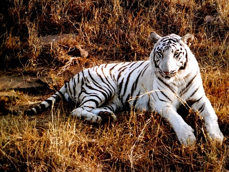 Smart tiger pictures
