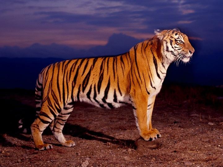 Night View tigers