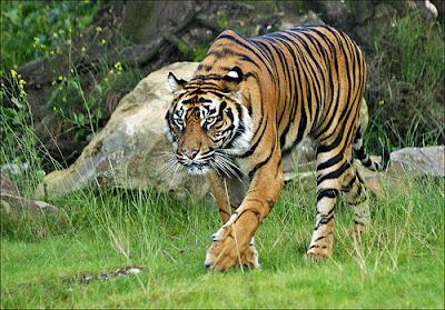 Cool tigers