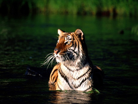 Deep tiger pictures