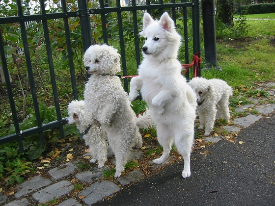 White Style dogs
