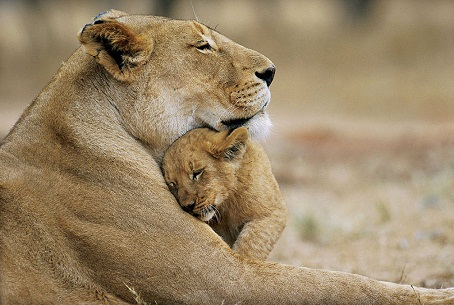 cute lions