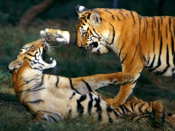 Fighting tiger pictures