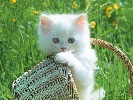 White Beauty cat images