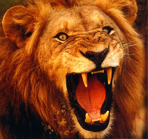 roaring lion