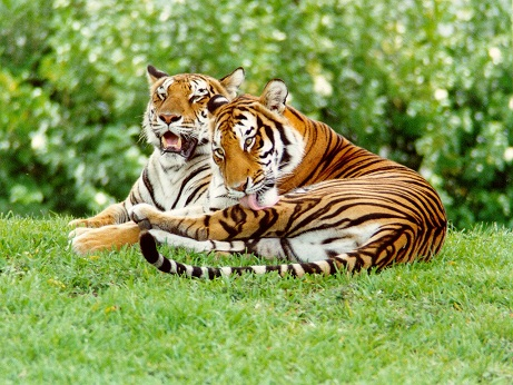 Couple tiger pictures