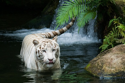 Tiger Picture nature photos