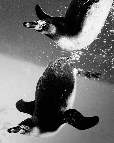 In Water penguin pictures