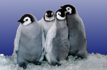 Group penguins