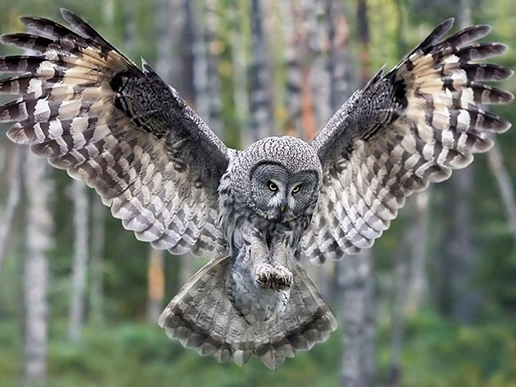 Flying owl pictures
