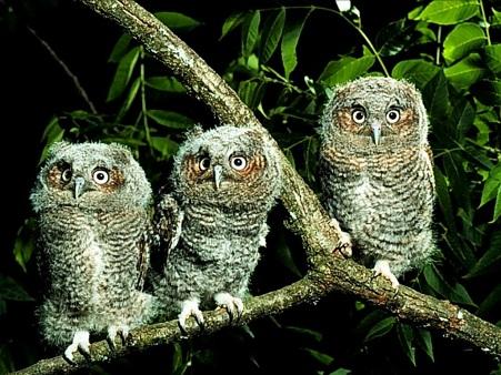 Decent owl pictures