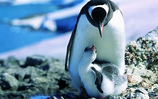 Romantic pictures of penguins