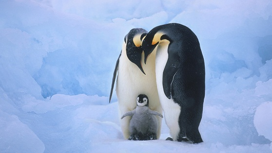 With Baby penguin pictures