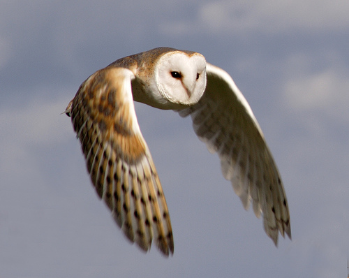 Flying Up owl pictures
