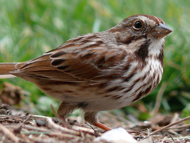 Best song sparrow