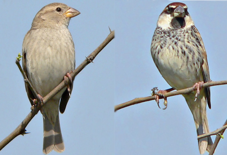 Group sparrows