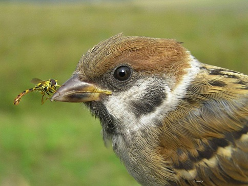 Eating sparrows