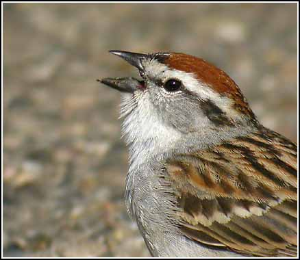Close Up house sparrow