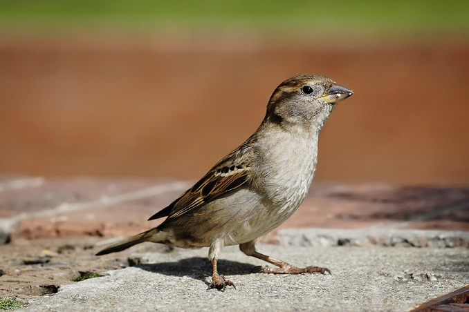 Cool house sparrow