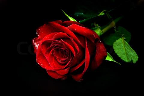 Charming Rose rose