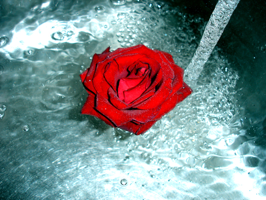 Rose In Water rose