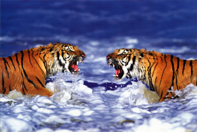 Two Tigers tiger images