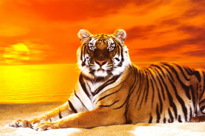 Sun Tiger tiger images