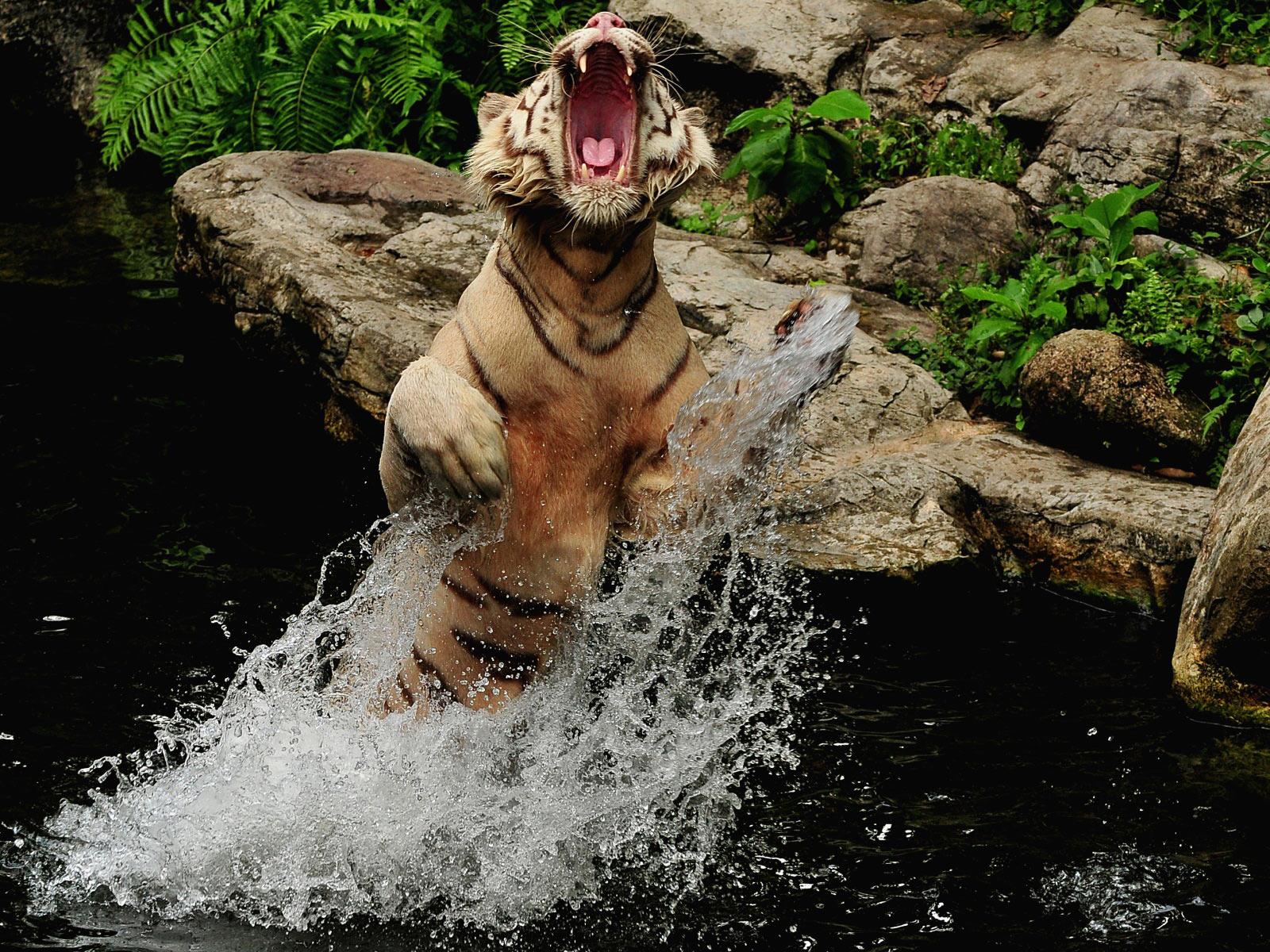 Roaring Splash tiger images