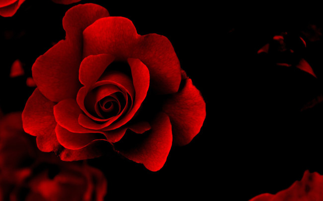 Lovely Rose red rose picture