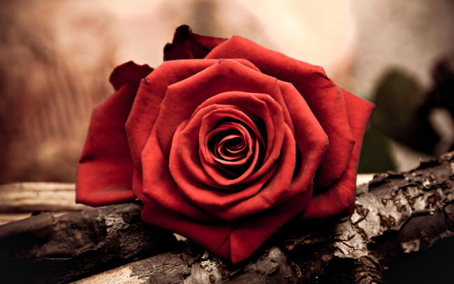 Amazing One red rose picture