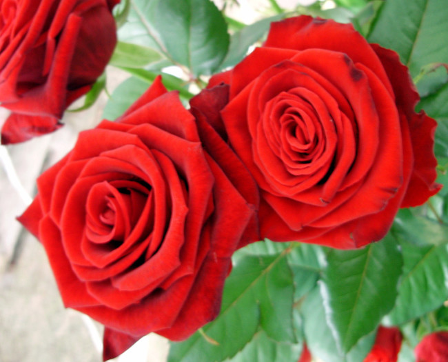 Beautiful Roses red rose picture