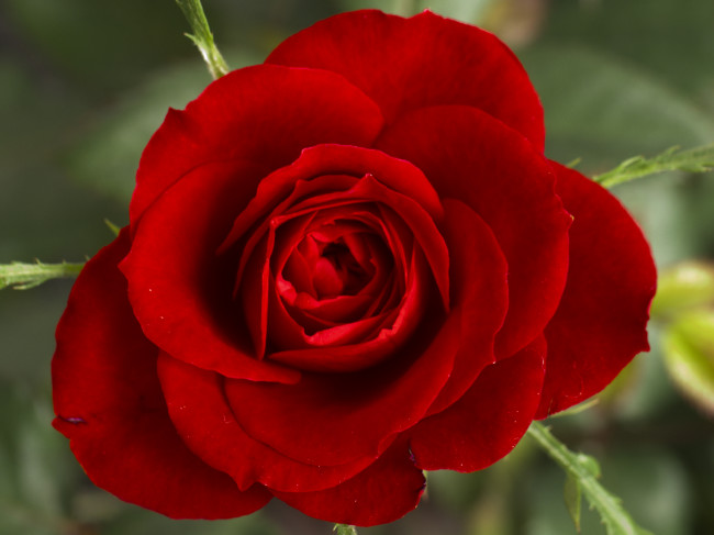 Amazing Beauty red rose picture