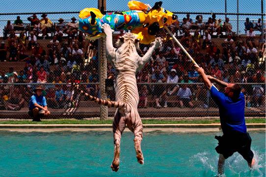 Circus Tiger tiger images