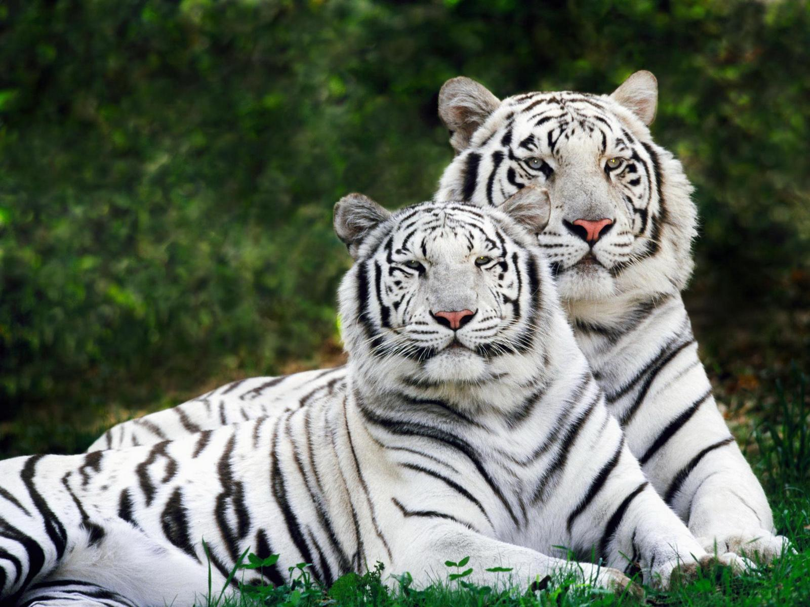 White Pair tiger images