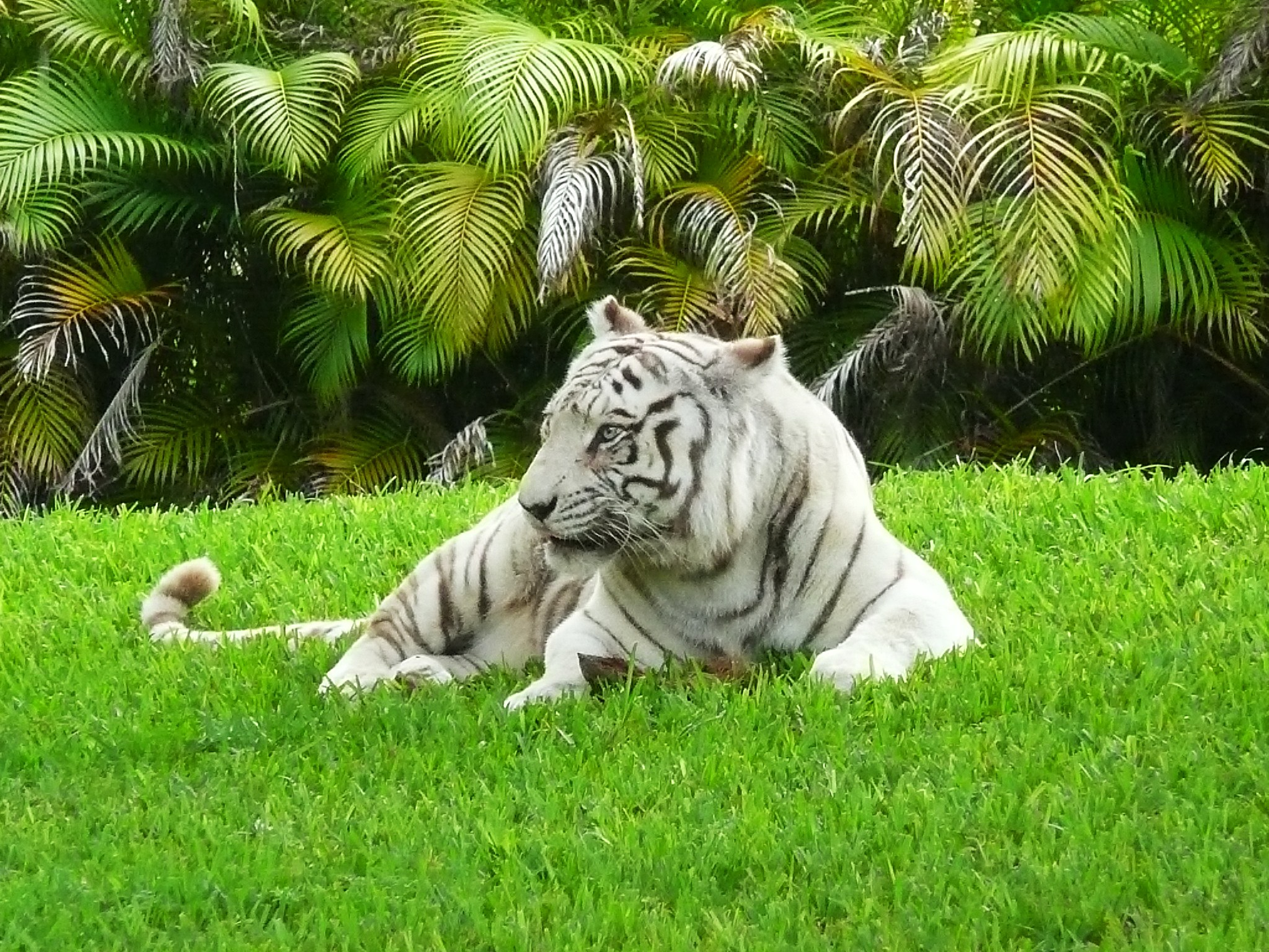 White Furious tiger images