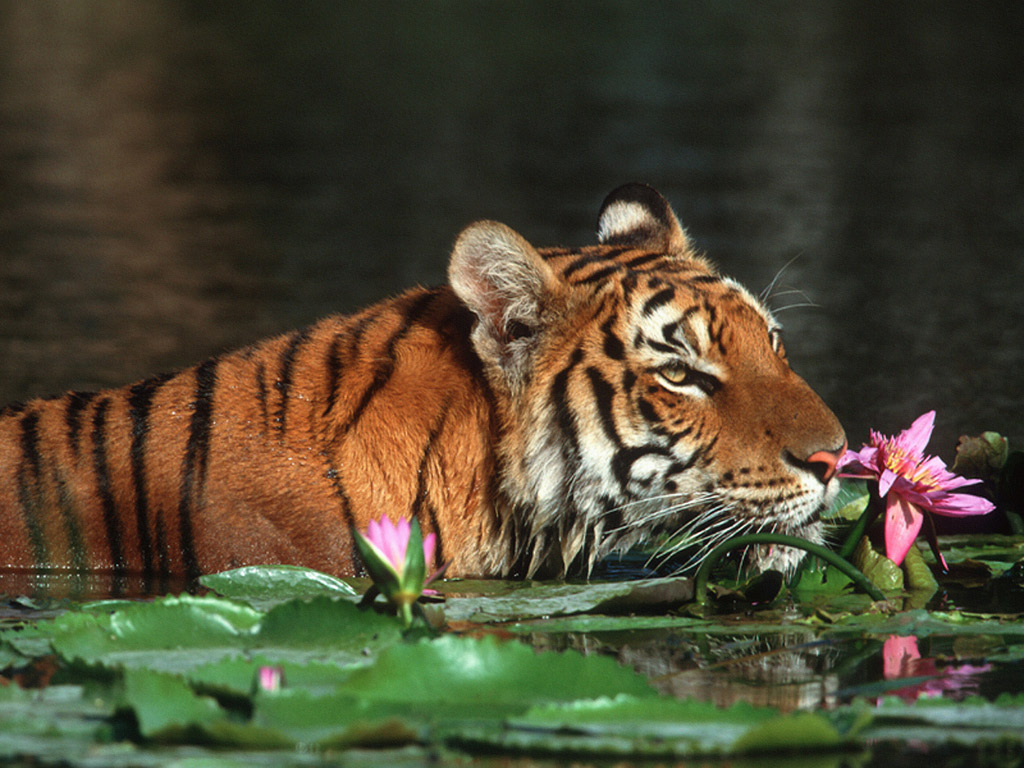 Cool Tiger tiger images
