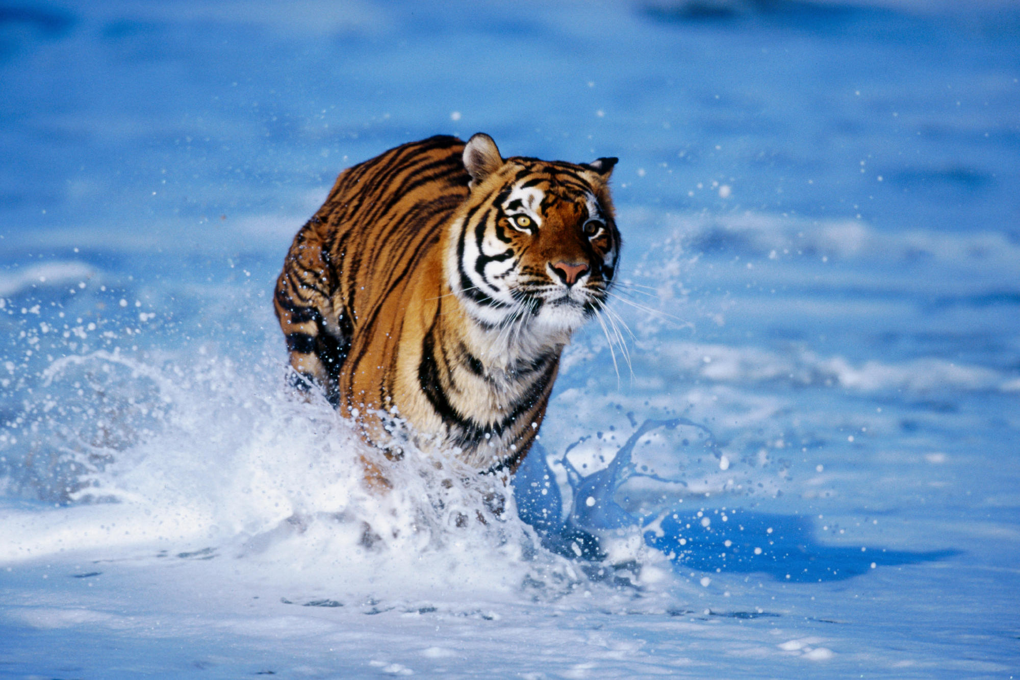 Running tiger images