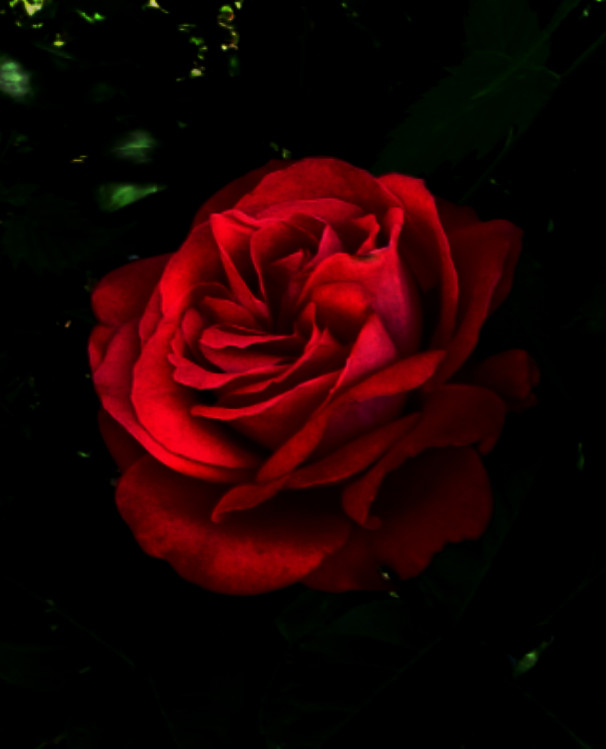 Marvelous Rose red rose