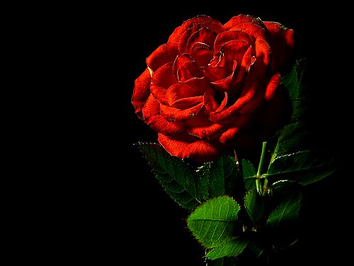 Attractive Rose red roses