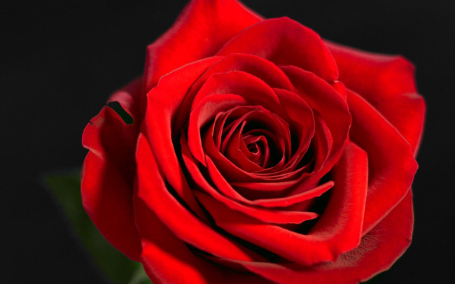 Lovely Rose red rose