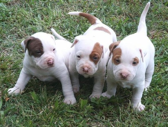 Terrible Puppies pitbull pictures