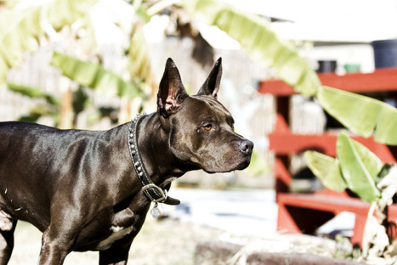 Active Black pitbull pictures