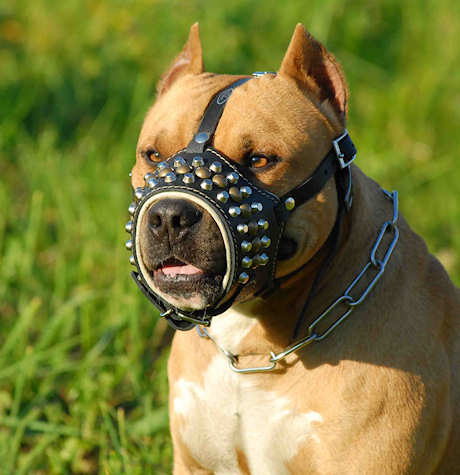 Pitbull Leather Dog Muzzle pitbull pictures