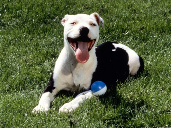 Dog With Ball pitbull picture